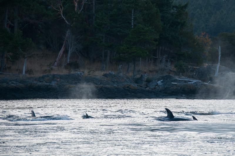 Transient Orcas San Juan Island