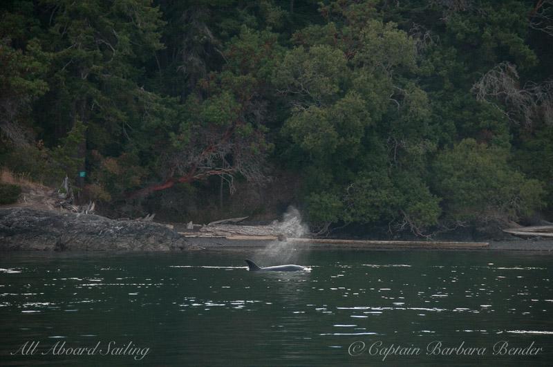 Transient Orca San Juan Island shoreline