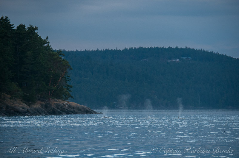 Transient Orca blows San Juan Island shoreline