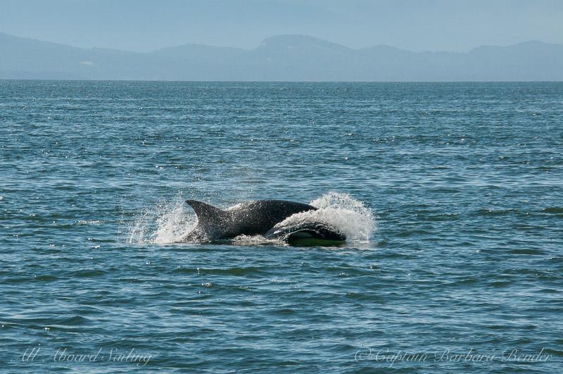 Transient Orca, Georgia Strait