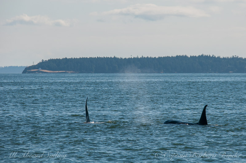 Transient Orcas T46E and T46D Males.