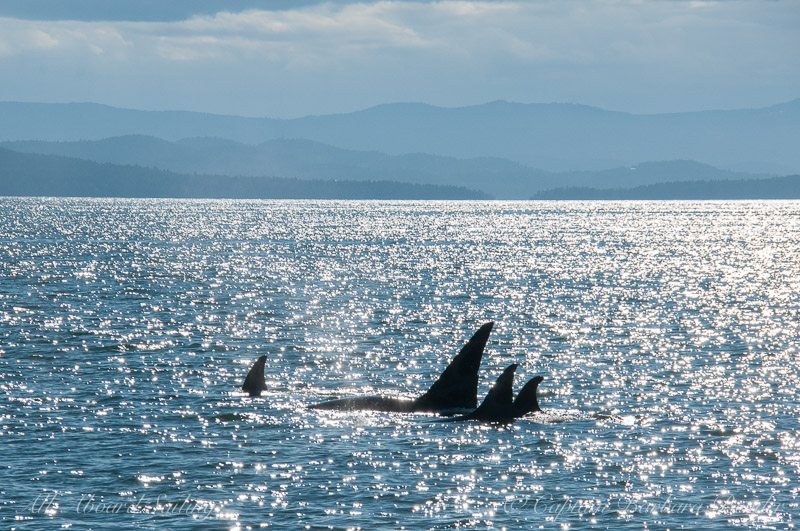 Transient Orcas Social travel