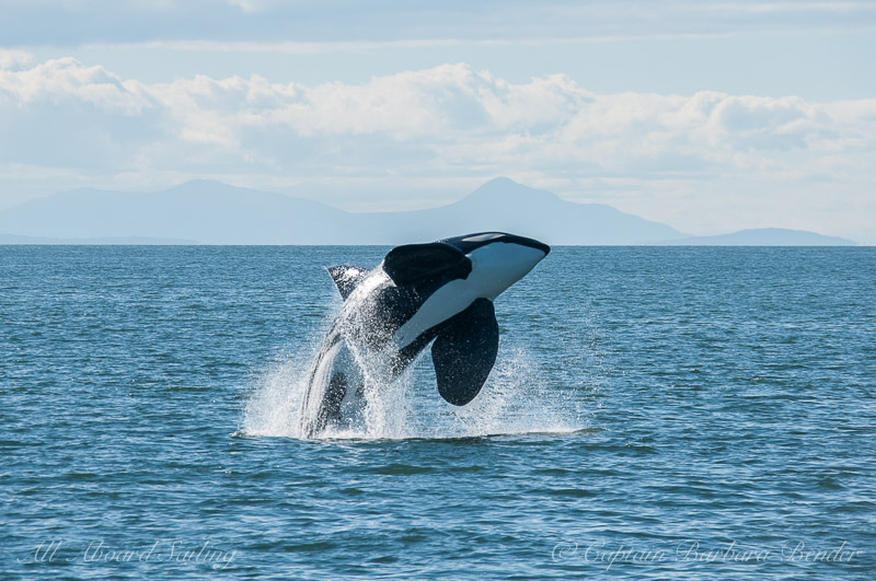Transient Orca T19 B Mr. Floppy Fin Breaches