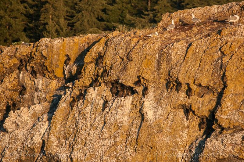 Cormorants on Gull Rock