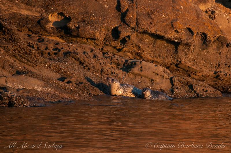 Harbor Seals in sunset light