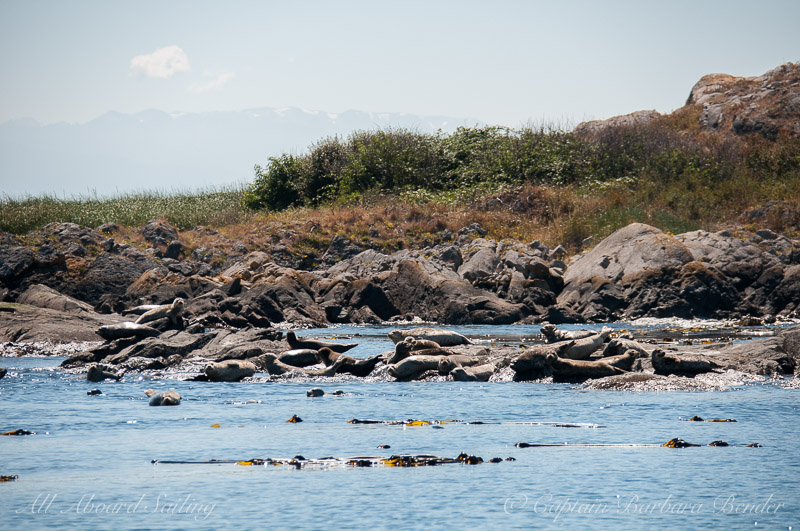 Harbor Seals of Dead Man island