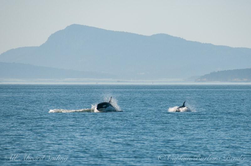 Surprise ! - J36 and J52 porpoise towards us
