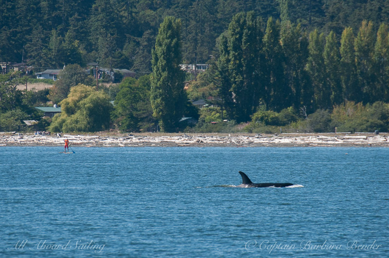 Paddle boarder comes out to meet the hunting Transient Orcas at Jackson BVeach
