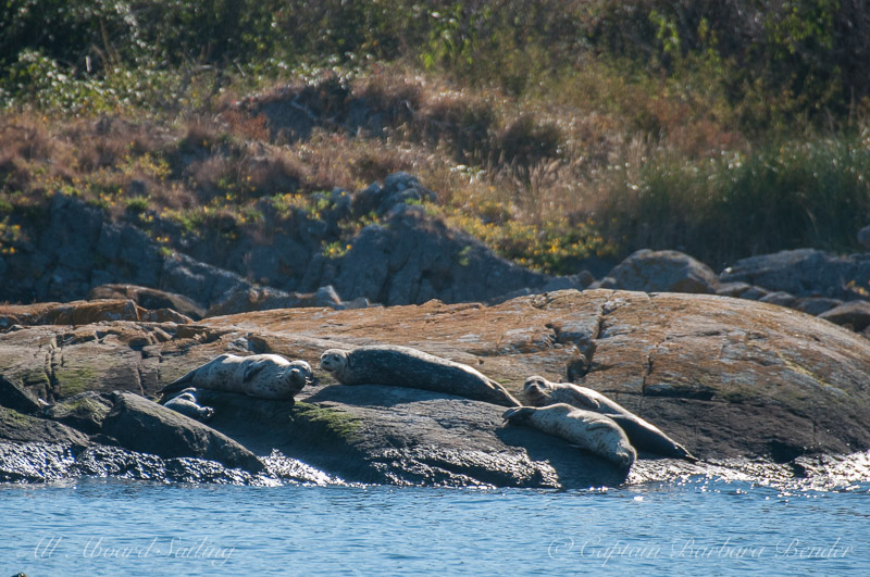 Harbor Seals Dead Mans island