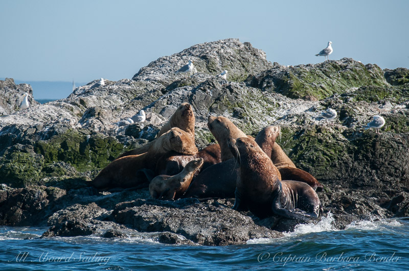 Steller sea lions - including a really small guy - or girl?
