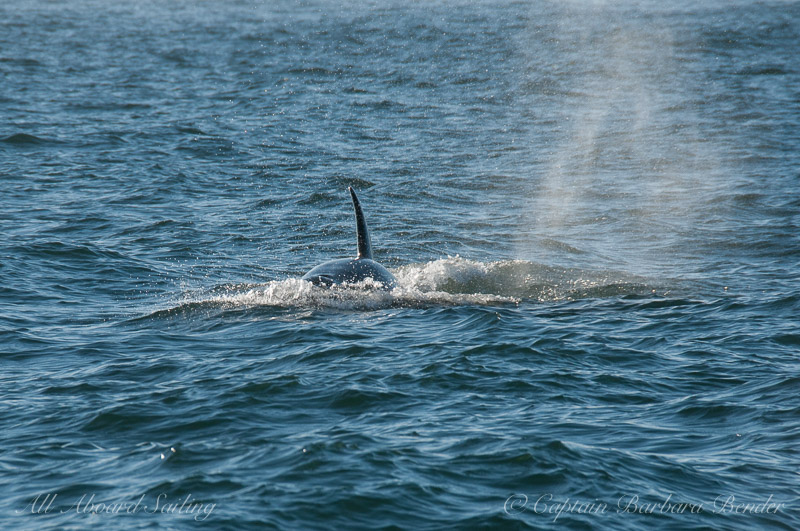 Southern Resident Orca foraging
