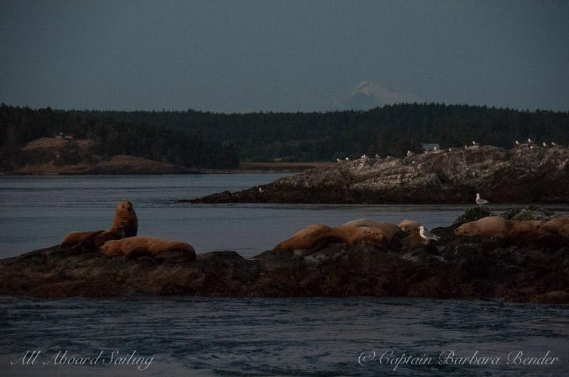 Steller Sea Lions getting sleepy