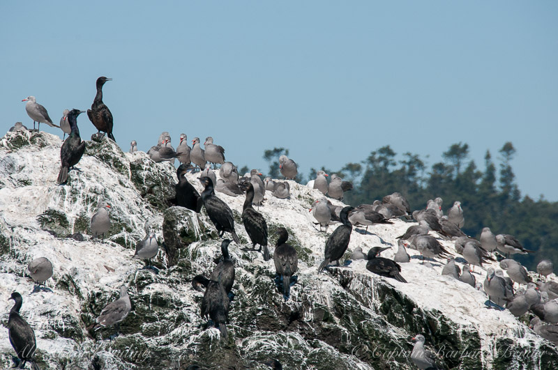 Pelagic and Brandt's Comorants and Heermann's gulls on Whale Rocks