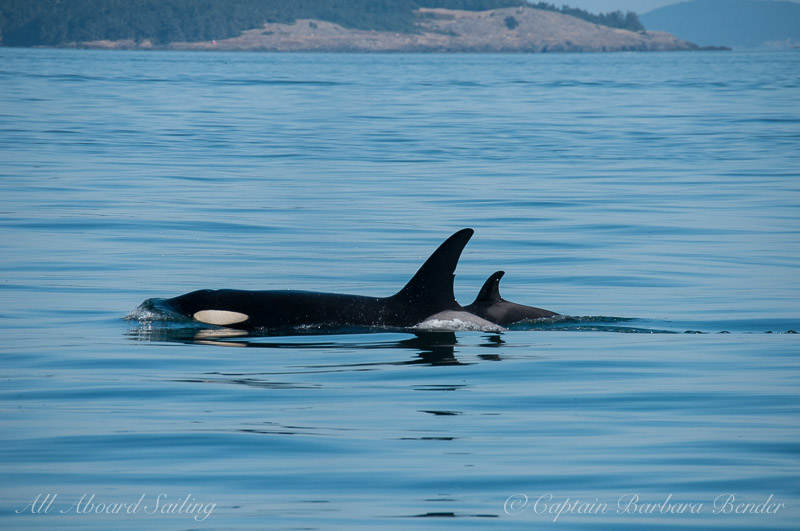 J28 Polaris and her calf J54 (the youngest member of J pod)