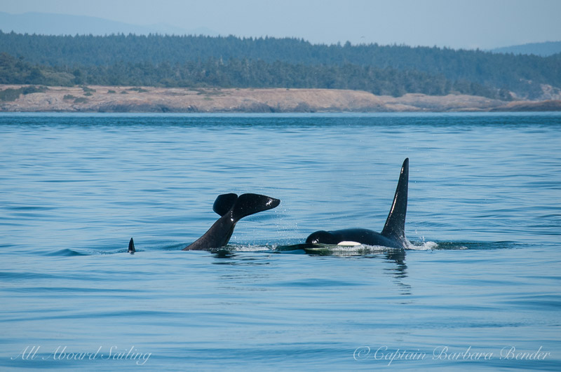 J39 Mako doing a tail lob beside his brother J27 Blackberry