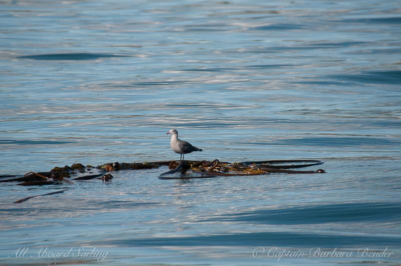 Heermann's Gull standing on loose bull kelp