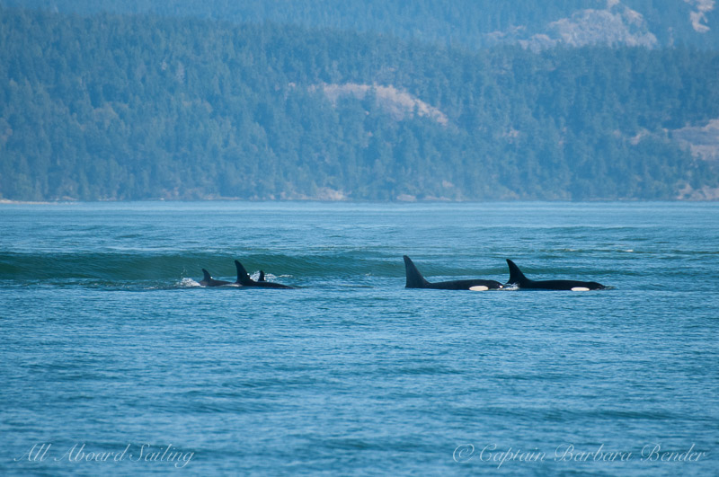 Killer whales L103 with calf L123 plus L72 with son L105 inching into the ship wake