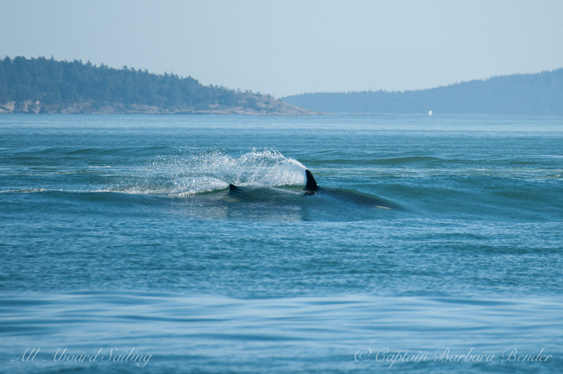Orcas surfing in the ship wake