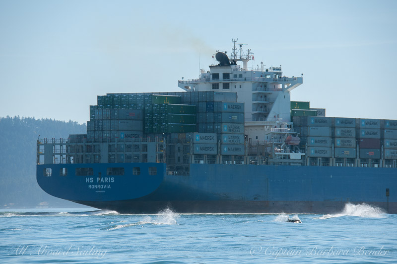 Orcas surf the freighter wake -' HS Paris'