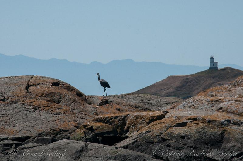Blue Heron Cattle pass San Juan island