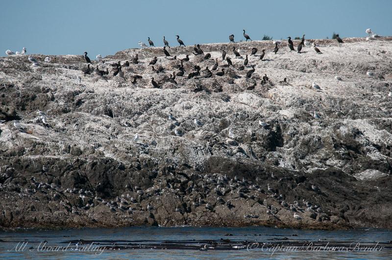 Pelagic Cormorants nesting on Goose Island