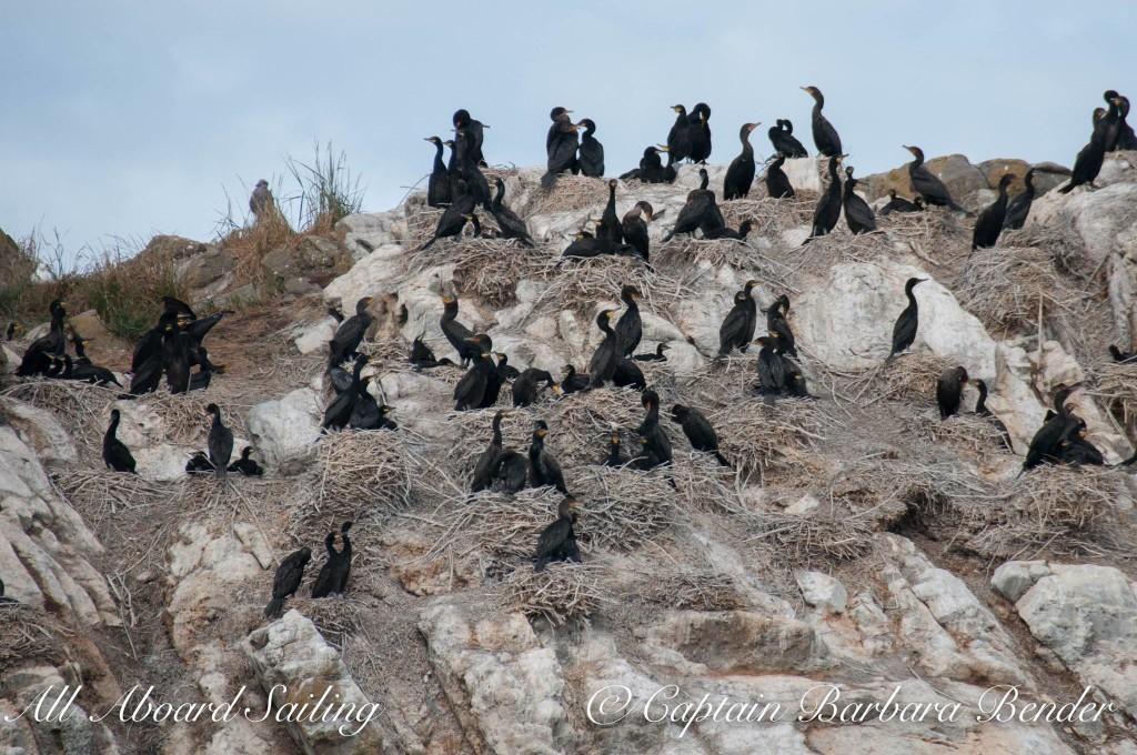 Pelagic Cormorant families