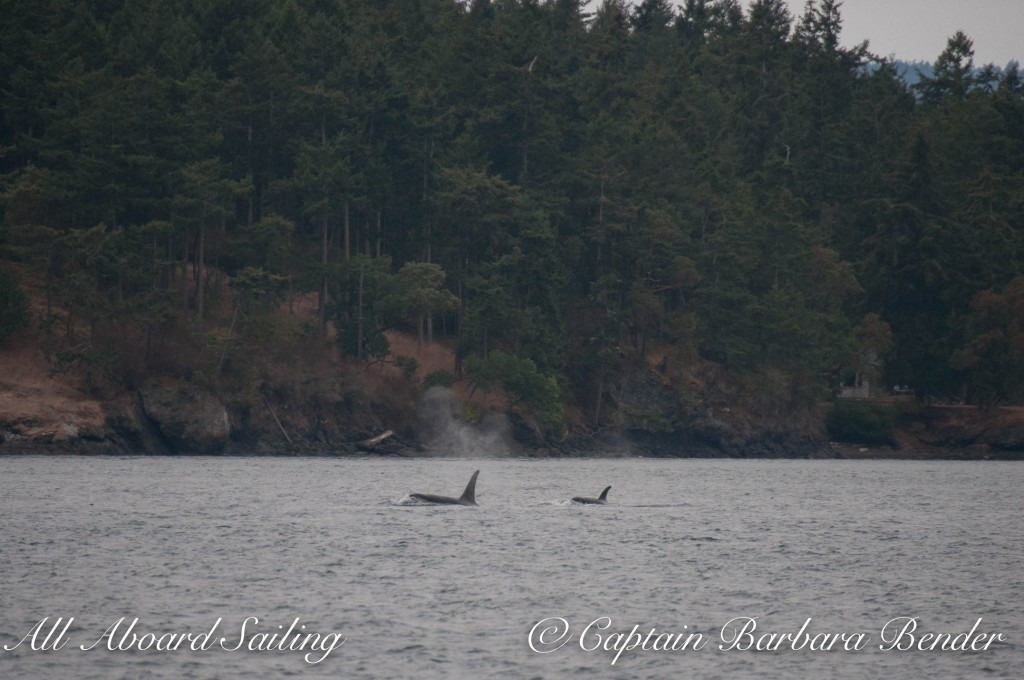 Transient orcas T65A2 and T65A3 outside of Friday Harbor