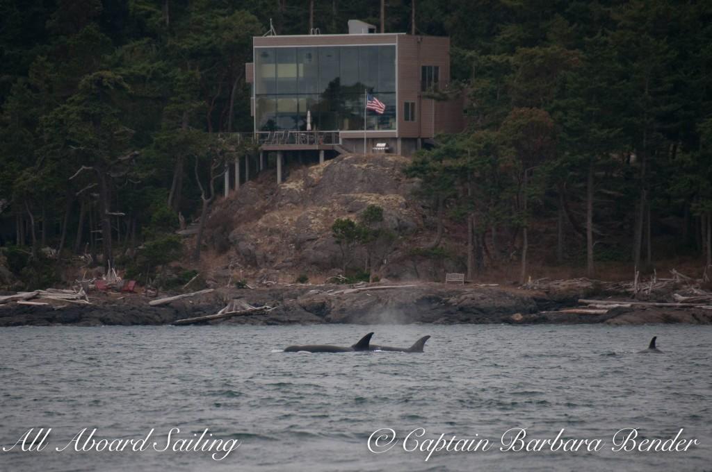 Transient killer whales T65A's heading down San Juan Channel