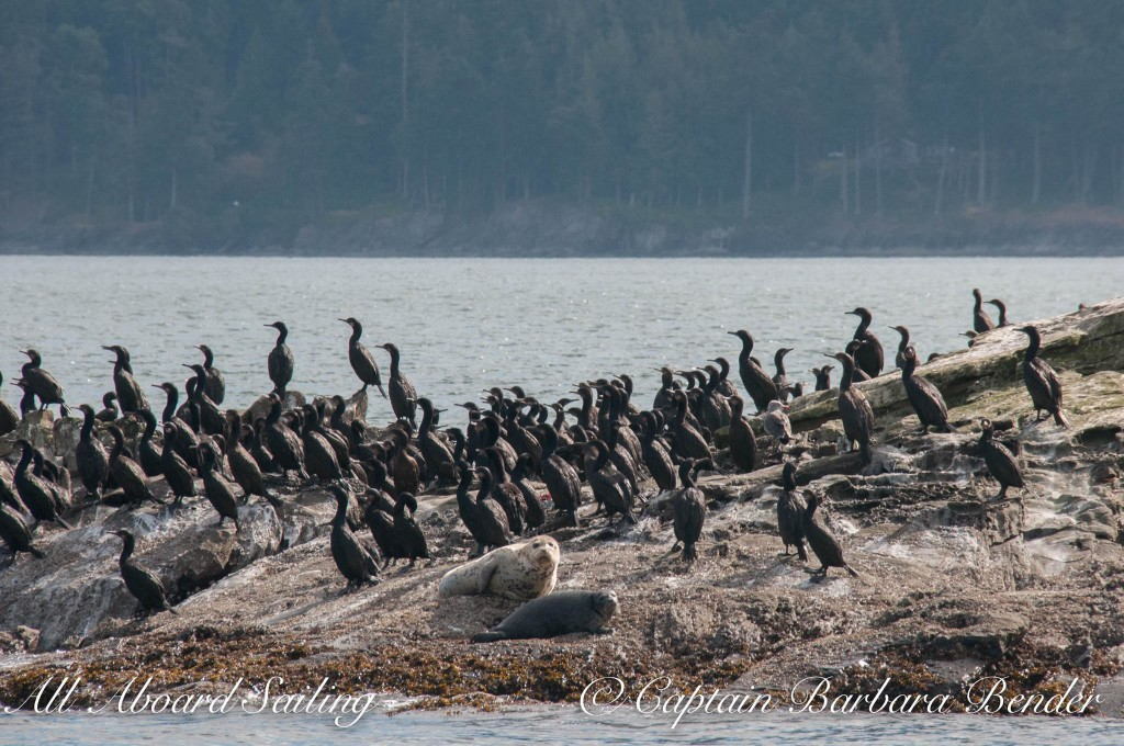Harbor Seals and Cormorants
