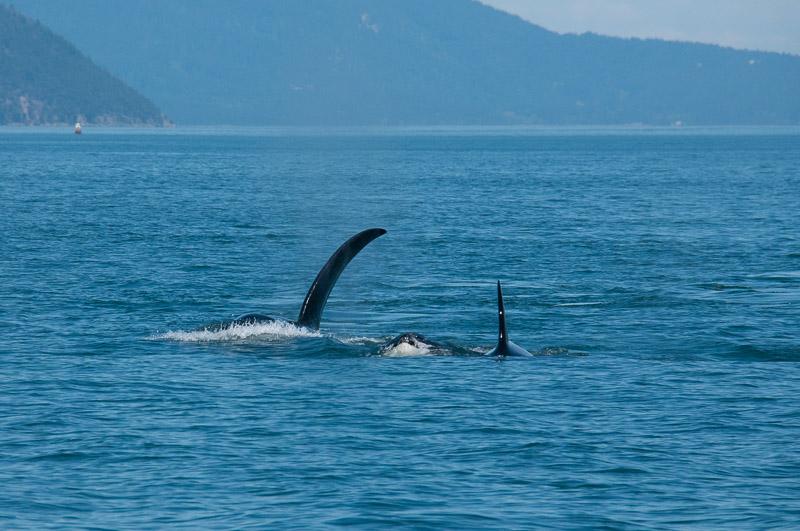 T18/19 Transient Orcas