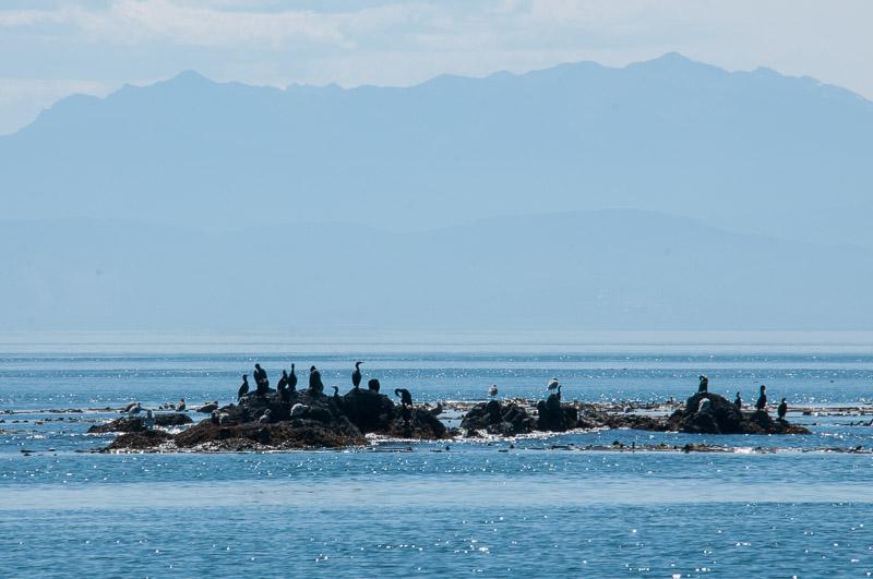 Pelagic Cormorants Swirl Island