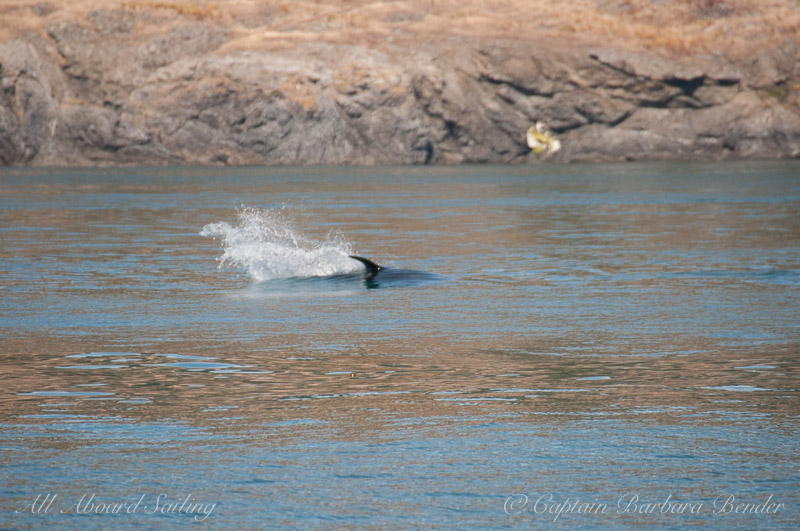 Southern Resident Orca J46 chasing a fish