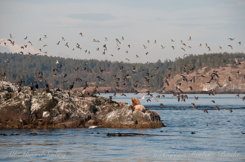Gulls taking flight at Whale Rocks over the sea lions