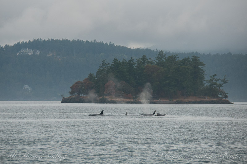 Orcas circumnavigating Crane Island - Coon Island in view