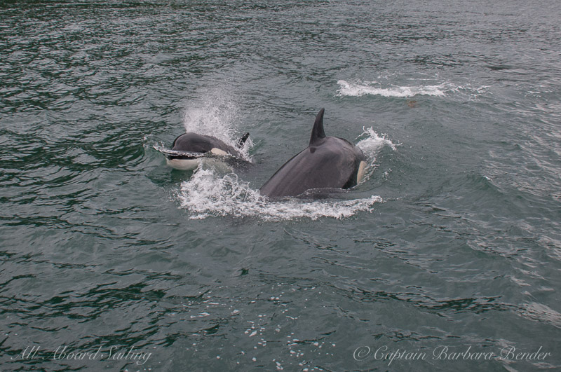 Sailing Whale watching with Transient Orcas T36B1 and T36B2