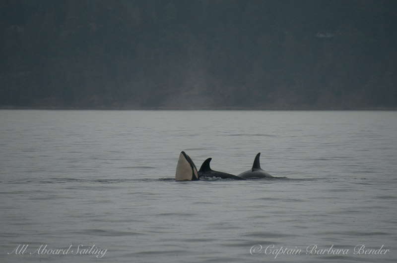 spyhop with Hunting Transient Orcas
