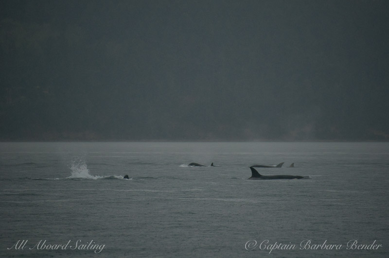 Hunting Transient Orcas