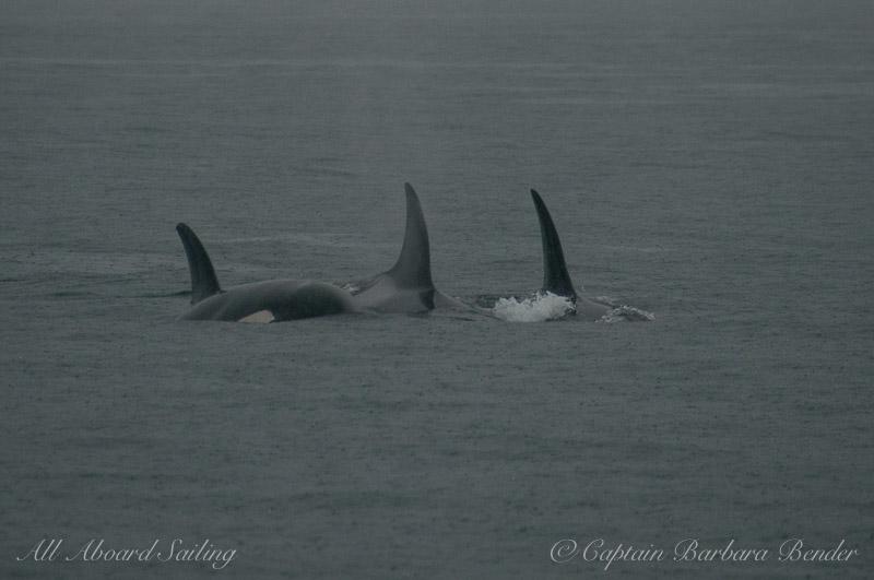 Killer whales in the rain