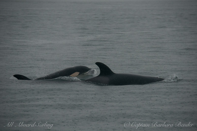 Whale watching with Transient Orcas