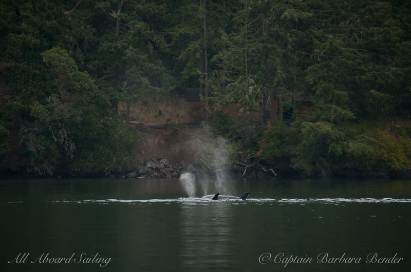 Wasp Pass with Transient Orcas
