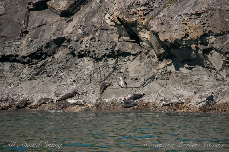 Harbor Seals hauled out on Flattop Island