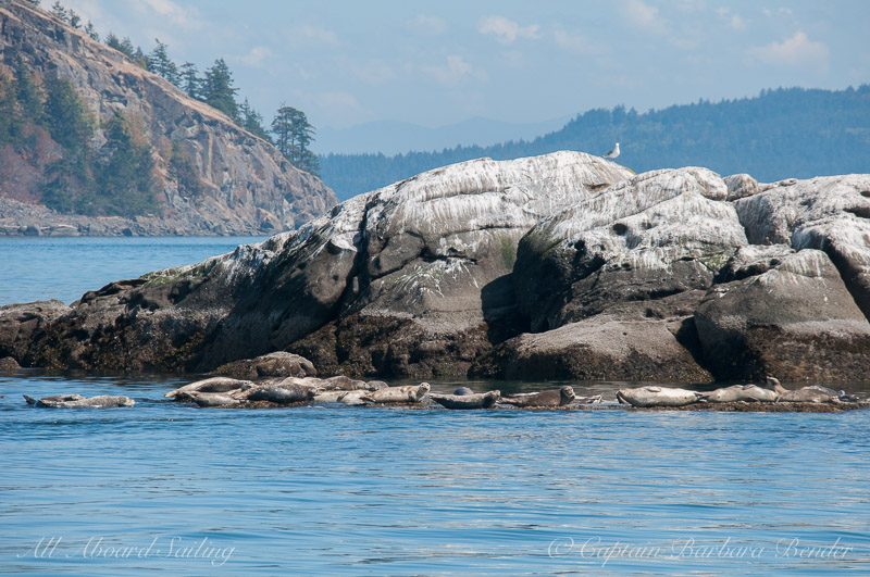 Harbor Seals on White Rock