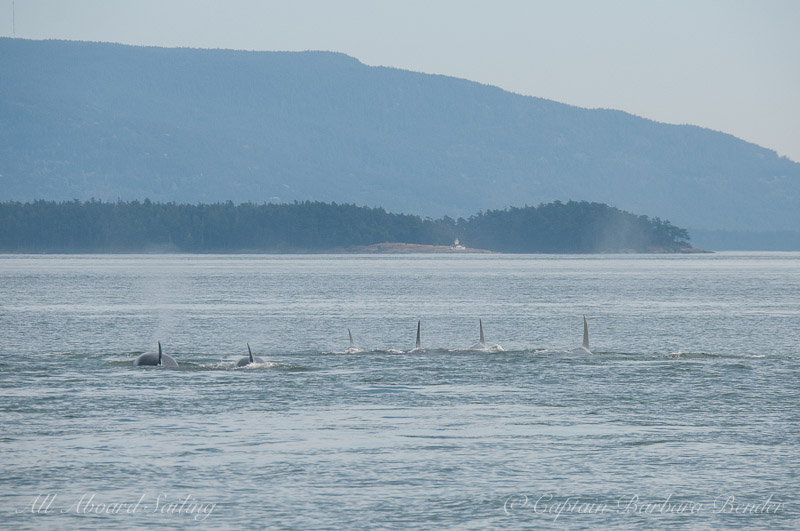 Transient killer whales Traveling towards Alden Point
