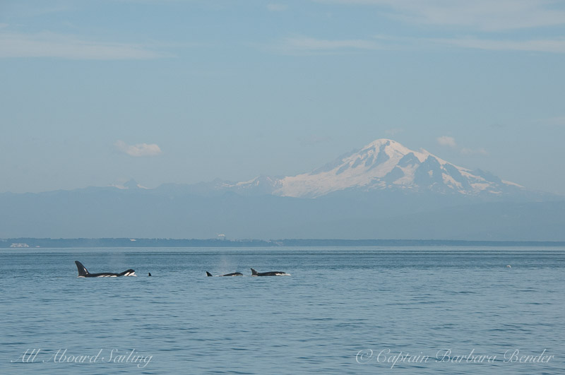 Killer Whales with Mt Baker