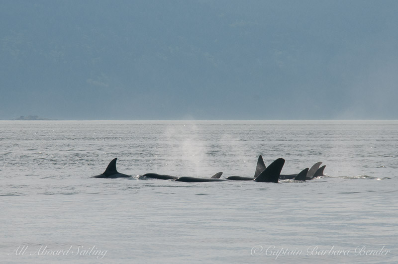 Tight group of Transient Orcas