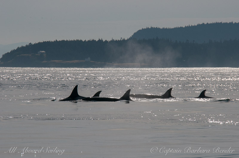 Transient killer whales passing East Point, Saturna Island