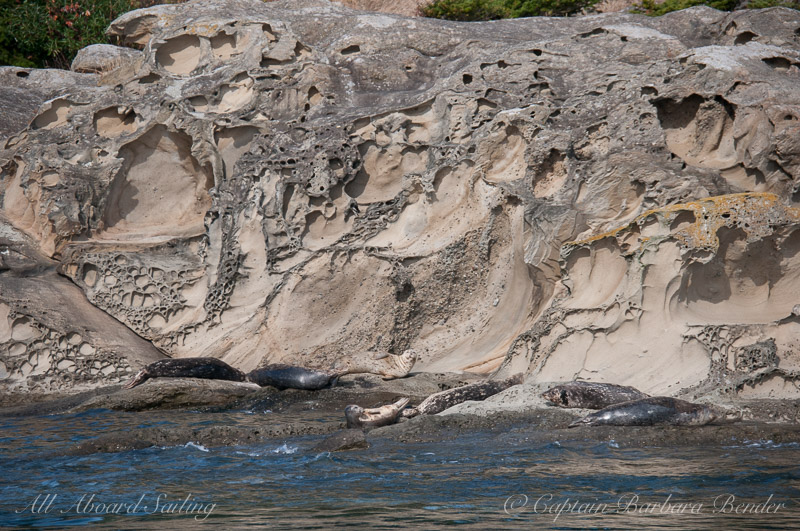 Harbor Seals on Little Patos