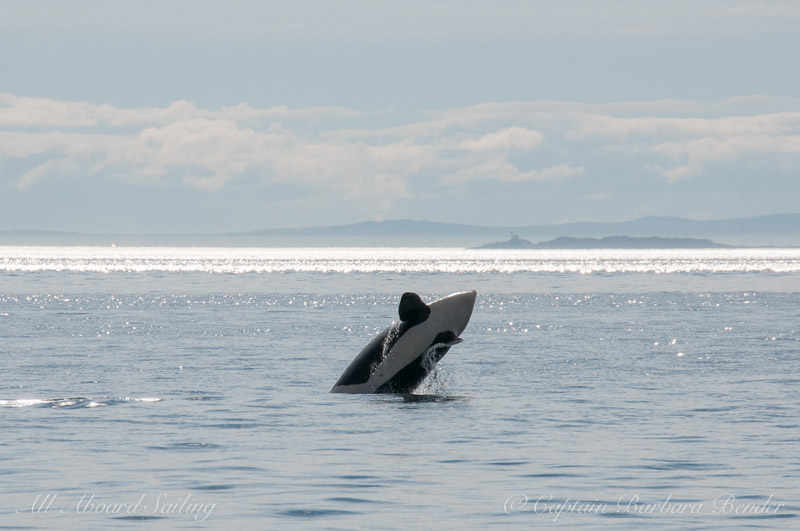 Southern Resident Killer Whale Half breach