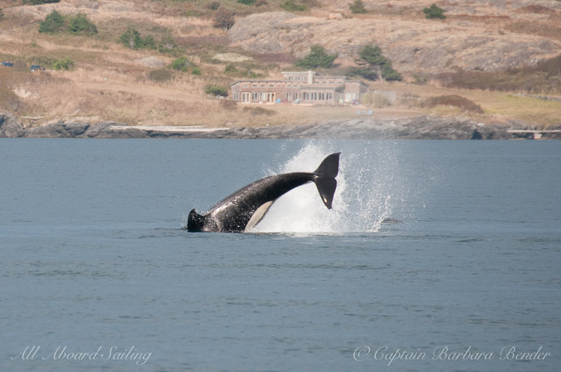 Killer Whale Cartwheel