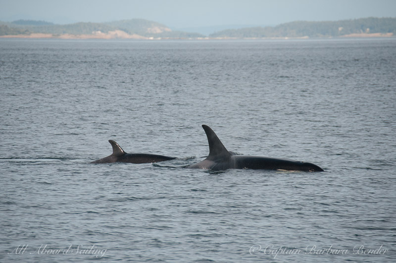 Southern Resident Killer Whale L91 Muncher with calf L122 - she looks skinny behind her blow hole